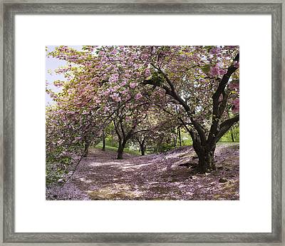 Framed Print featuring the photograph Cherry Tree Blossoms Pano by Dave Beckerman