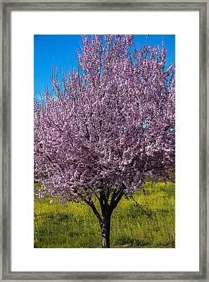 Cherry Tree In Bloom Framed Print by Garry Gay