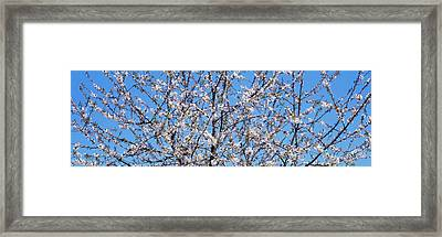 Cherry Tree In Bloom, Germany Framed Print