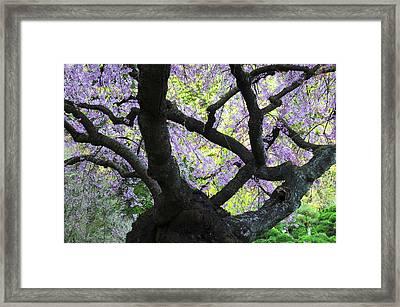 Cherry Tree In Bloom, Portland Japanese Framed Print by Michel Hersen