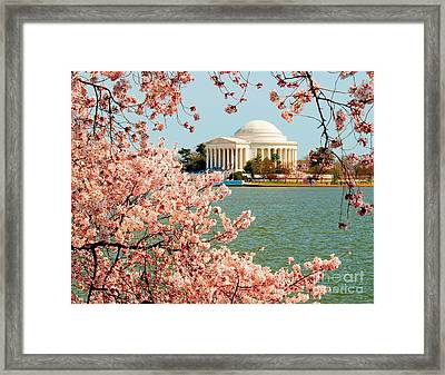 Cherry Trees At The Jefferson Framed Print by Nick Zelinsky