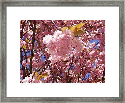 Cherry Trees Blossom Framed Print