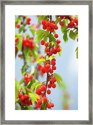 Cherry Trees In An Orchard Framed Print