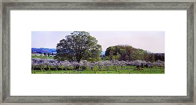 Cherry Trees In An Orchard, Michigan Framed Print