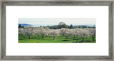 Cherry Trees In An Orchard, Mission Framed Print