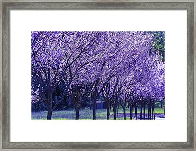 Cherry Trees In Bloom Framed Print by Garry Gay