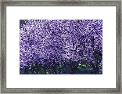 Cherry's In Bloom Framed Print