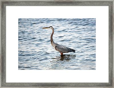 Chesapeake Bay Blue Heron Framed Print