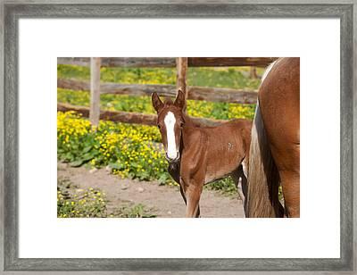 Chestnut Foal Framed Print