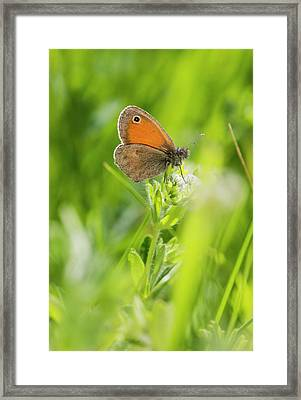 Chestnut Heath Butterfly Framed Print