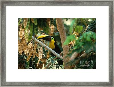 Chestnut-mandibled Toucan Framed Print by Art Wolfe