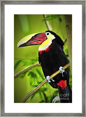 Chestnut Mandibled Toucan Framed Print by Elena Elisseeva