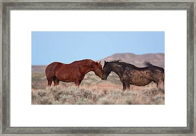 Chestnut Mustang Stallion And Black Mare Framed Print