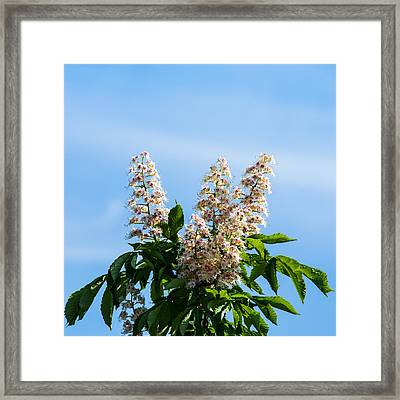 Chestnut Tree Blossoms - Featured 2 Framed Print