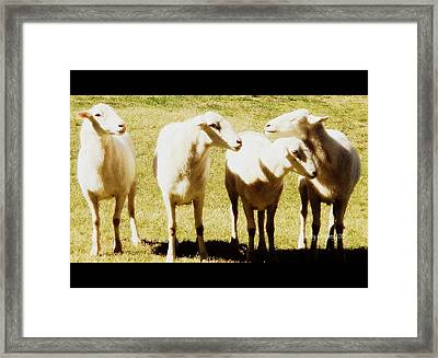 Cheviot Sheep Framed Print by Kathy Barney