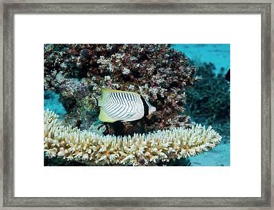 Chevron Butterflyfish Framed Print by Georgette Douwma