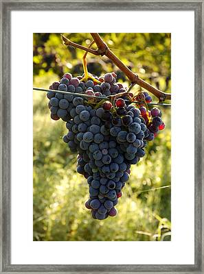 Chianti Grapes Framed Print by Norman Pogson