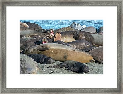 Chick Of King Penguin, Aptenodytes Framed Print