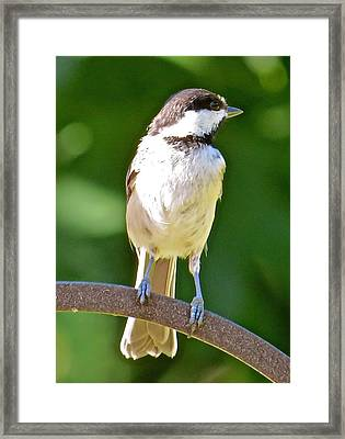 Chickadee 101 Framed Print by Patsy Pratt