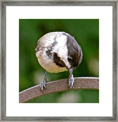 Chickadee 103 Framed Print by Patsy Pratt