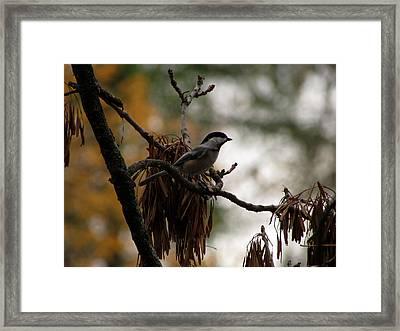 Chickadee In A Tree Framed Print