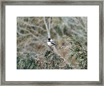 Framed Print featuring the photograph Chickadee In Cedar by Brenda Brown