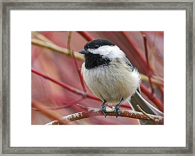 Chickadee In Red Twig Dogwood Framed Print by Stephen  Johnson