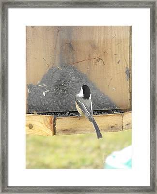 Chickadee Eating Lunch Framed Print by Erick Schmidt
