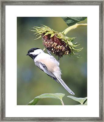 Chickadee On Sunflower Framed Print