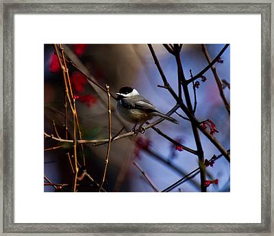 Chickadee Framed Print by Robert L Jackson