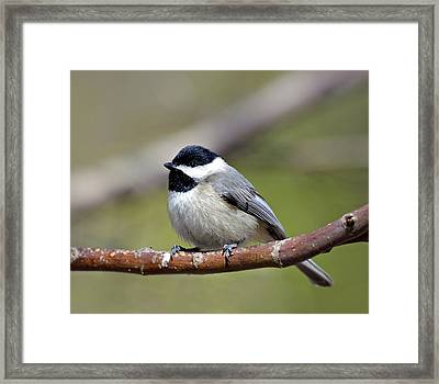 Chickadee Framed Print by Susan Leggett