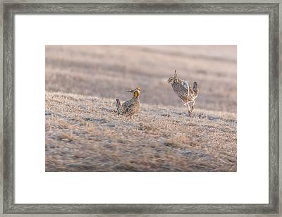 Chicken Fight Framed Print by Thomas Young