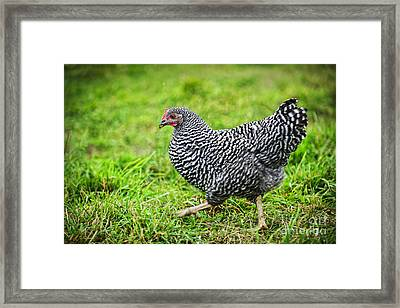 Chicken Walking On Green Pasture Framed Print