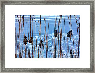 Chicks In Water With Reeds On The Outer Banks I Framed Print by Dan Carmichael