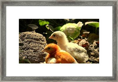 Framed Print featuring the photograph Cute Chicks by Salman Ravish