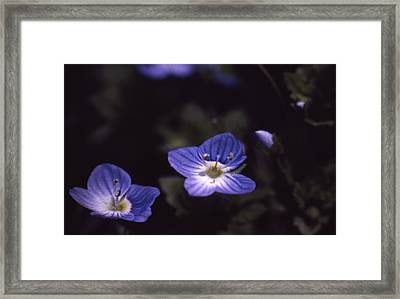 Chickweed Framed Print by Retro Images Archive