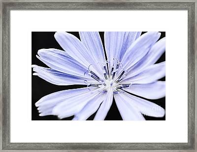 Chicory Flower Macro Framed Print by Elena Elisseeva