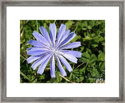 Chicory Framed Print by Laura Yamada