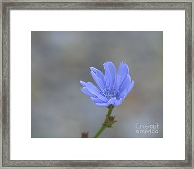 Chicory Framed Print by Randy Bodkins