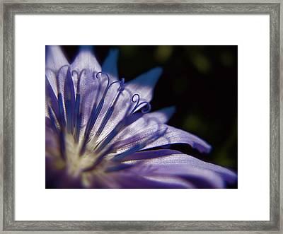 Chicory Framed Print by Tim Good