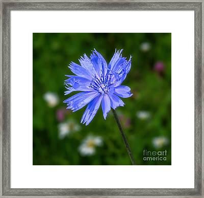 Chicory - Wildflower Framed Print by Henry Kowalski