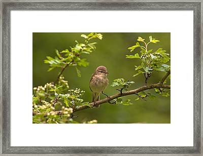 Chiffchaff Framed Print by Paul Scoullar