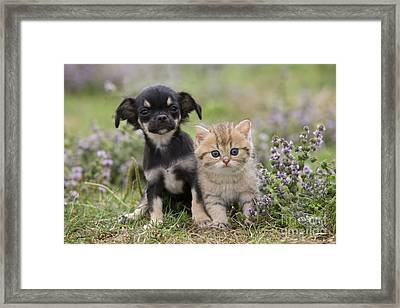 Chihuahua And Kitten Framed Print