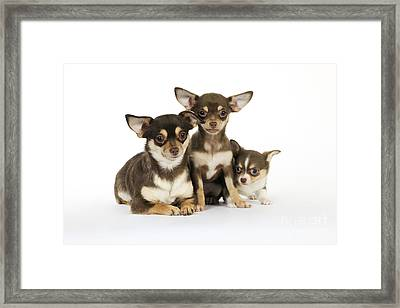 Chihuahua And Puppy Dogs Framed Print