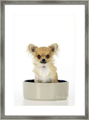 Chihuahua Dog In Bowl Framed Print