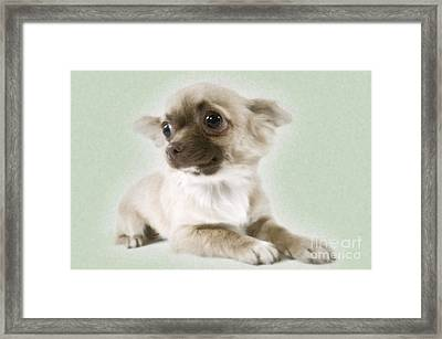 Chihuahua Dog Framed Print