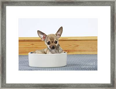 Chihuahua In Bowl Framed Print by John Daniels