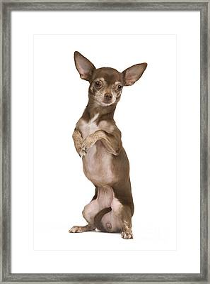 Chihuahua On Hind Legs Framed Print