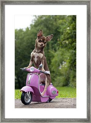 Chihuahua On Scooter Framed Print by John Daniels