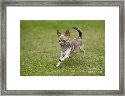 Chihuahua Playing Framed Print